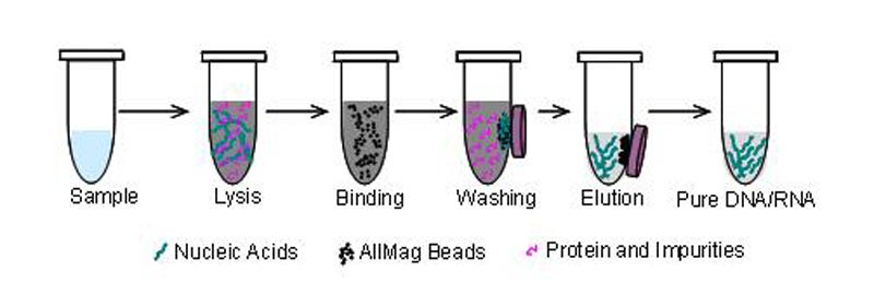 magnetic beads DNA extraction