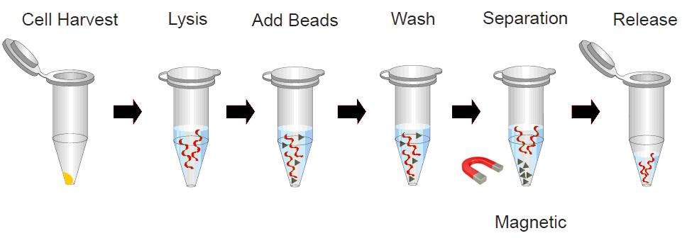 Magnetic beads DNA extraction process